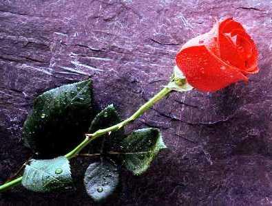 rose-rouge_2-2.jpg